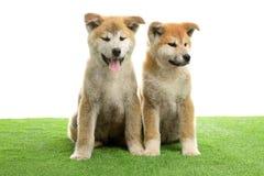 Perritos lindos del inu de Akita en hierba artificial fotografía de archivo libre de regalías