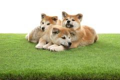 Perritos lindos del inu de Akita en hierba artificial fotografía de archivo