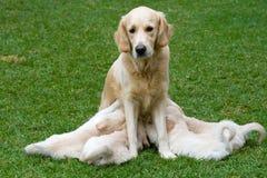 Perritos lindos del perro perdiguero de oro que amamantan en perra Fotografía de archivo libre de regalías