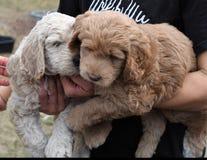 Perritos marrones y blancos lindos del labradoodle foto de archivo