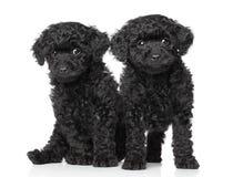 Perritos negros del caniche de juguete fotos de archivo