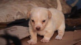 Perritos, perros, colmillos, animales domésticos, animales almacen de video