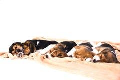 Perritos que duermen en una manta fotos de archivo