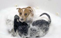Perritos que toman un baño. Imagen de archivo libre de regalías