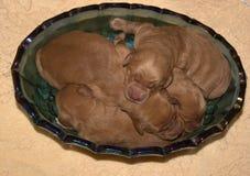 Perritos recién nacidos del golden retriever fotos de archivo
