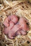 Perritos recién nacidos del hámster en la jerarquía de la paja imagen de archivo libre de regalías
