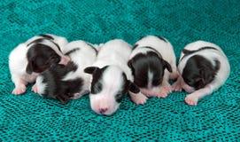 Perritos recién nacidos Papillon fotos de archivo
