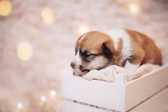 Perritos/sesión del Corgi del Corgi/del estudio con los perritos del Corgi Fotografía de archivo libre de regalías