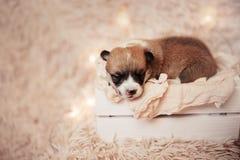 Perritos/sesión del Corgi del Corgi/del estudio con los perritos del Corgi Imagen de archivo libre de regalías