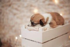 Perritos/sesión del Corgi del Corgi/del estudio con los perritos del Corgi Foto de archivo libre de regalías