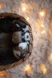 Perritos/sesión del Corgi del Corgi/del estudio con los perritos del Corgi Imagen de archivo