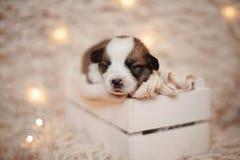 Perritos/sesión del Corgi del Corgi/del estudio con los perritos del Corgi Imágenes de archivo libres de regalías