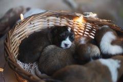 Perritos/sesión del Corgi del Corgi/del estudio con los perritos del Corgi Fotos de archivo