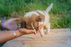 Perritos tailandeses del perro de Bangkaew Imágenes de archivo libres de regalías