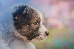 Perritos tailandeses del perro de Bangkaew Foto de archivo