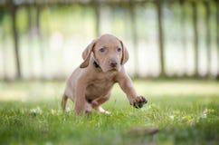 5 perritos viejos de la semana de perro de caza del vizsla Imagen de archivo