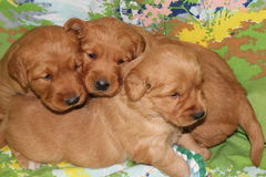 Perritos viejos de tres semanas del golden retriever del trío junto fotografía de archivo libre de regalías