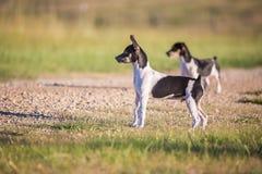 Perritos vigilantes de Terrier de rata imagen de archivo libre de regalías
