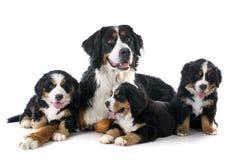 Perritos y perro bernese adulto del moutain Foto de archivo