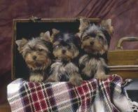 3 perritos Yorkshire Fotografía de archivo