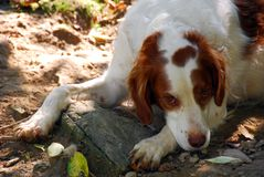 Perro 2 del perro de aguas de Bretaña Fotografía de archivo libre de regalías