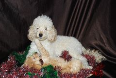 Perro, Año Nuevo Foto de archivo libre de regalías