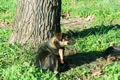 Perro abandonado de la calle que rasguña en la hierba y la luz del sol Fotografía de archivo