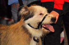 Perro abozalado Foto de archivo libre de regalías