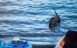 Perro activo de Labrador en agua azul Fotos de archivo libres de regalías