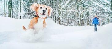 Perro activo del beagle que corre en nieve profunda El invierno camina con imagen del concepto de los animales domésticos imagen de archivo libre de regalías