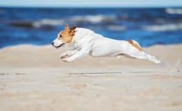 Perro activo del terrier de Russell del enchufe en una playa foto de archivo