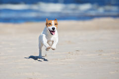 Perro activo del terrier de Russell del enchufe en una playa imágenes de archivo libres de regalías