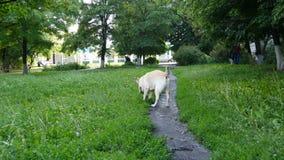 Perro activo hermoso que mastica el palillo en el parque Labrador que juega en la hierba verde en el césped con un palillo de mad almacen de metraje de vídeo