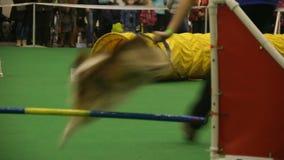 Perro activo que realiza trucos en la competencia del perro, agilidad animal, animal doméstico de salto almacen de metraje de vídeo