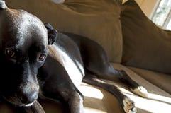 Perro adoptado dulce Foto de archivo libre de regalías