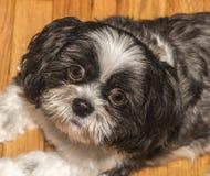 Perro adorable, cara Imagen de archivo libre de regalías