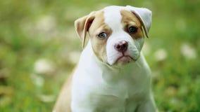 Perro adorable con los ojos verdes hermosos que se sientan en hierba verde almacen de video