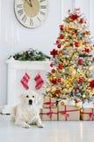 Perro adorable del golden retriever que presenta para la Navidad dentro Fotos de archivo