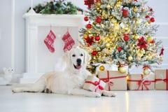 Perro adorable del golden retriever que presenta para la Navidad dentro Fotos de archivo libres de regalías