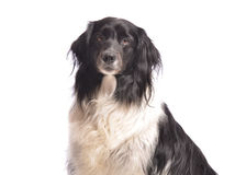 Perro adulto Fotos de archivo