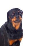 Perro adulto de Rottweiler Imagenes de archivo