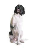 Perro adulto del landseer Foto de archivo libre de regalías