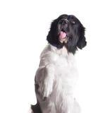 Perro adulto del landseer Fotografía de archivo libre de regalías