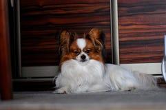 Perro adulto del papillon que pone en la alfombra dentro fotos de archivo