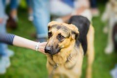 Perro adulto triste con una mirada expresiva del refugio Mano del pesar de la muchacha, perro de la caricia Esperanzas del perro  Fotografía de archivo libre de regalías