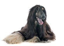 Perro afgano fotografía de archivo