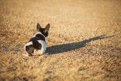 Perro agachado de Terrier de rata Fotografía de archivo