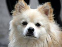 Perro agradable 2 del perro de Pomerania Foto de archivo libre de regalías