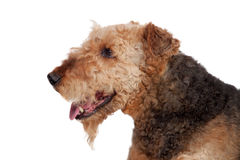 Perro agradable de la raza del terrier del airedale foto de archivo