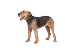 Perro agradable de la raza del terrier del airedale fotografía de archivo